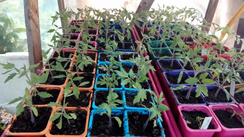 semis de tomates - Page 29 P_202183