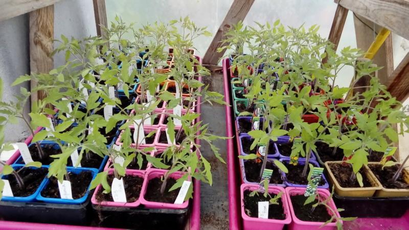 semis de tomates - Page 30 P_202208