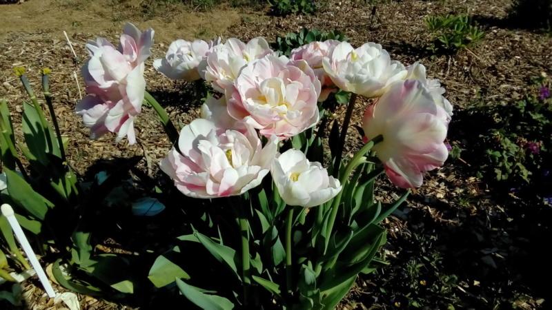 tulipes - Page 15 P_202227