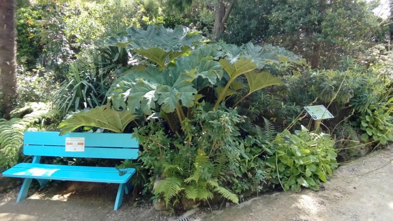 Gunnera, plante gigantesque P_202557