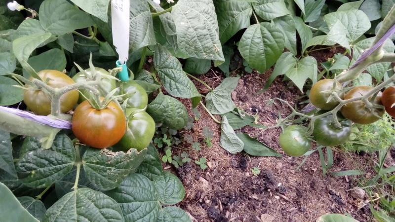 Tomates 2019 et 2020 - Page 18 P_202647