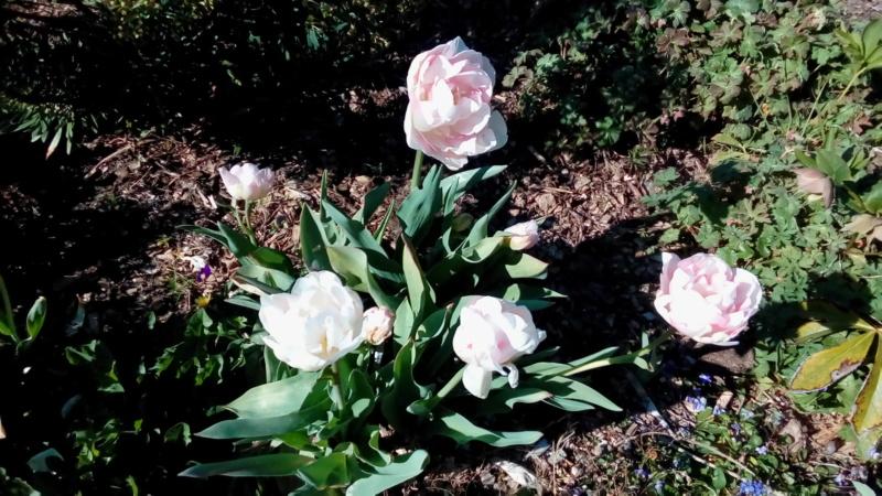 tulipes - Page 16 P_202822