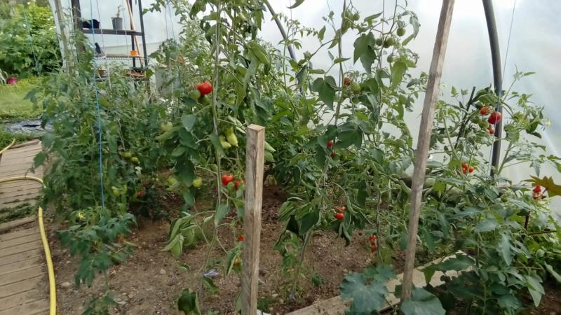 Tomates 2019 - 2020 et 2021 - Page 28 P_202833