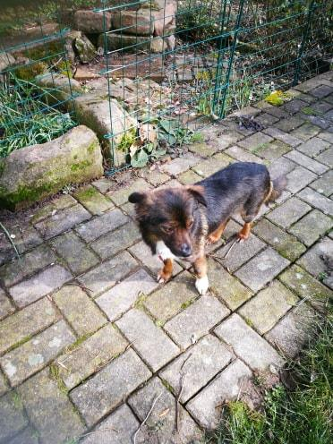 Mielle (ex-Sansa) - femelle - Târgu Frumos - adoptée (68) 51679210