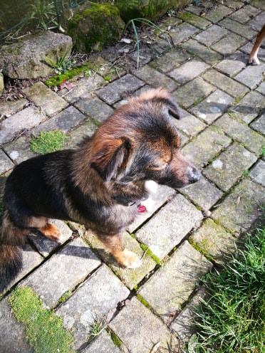 Mielle (ex-Sansa) - femelle - Târgu Frumos - adoptée (68) 51701510