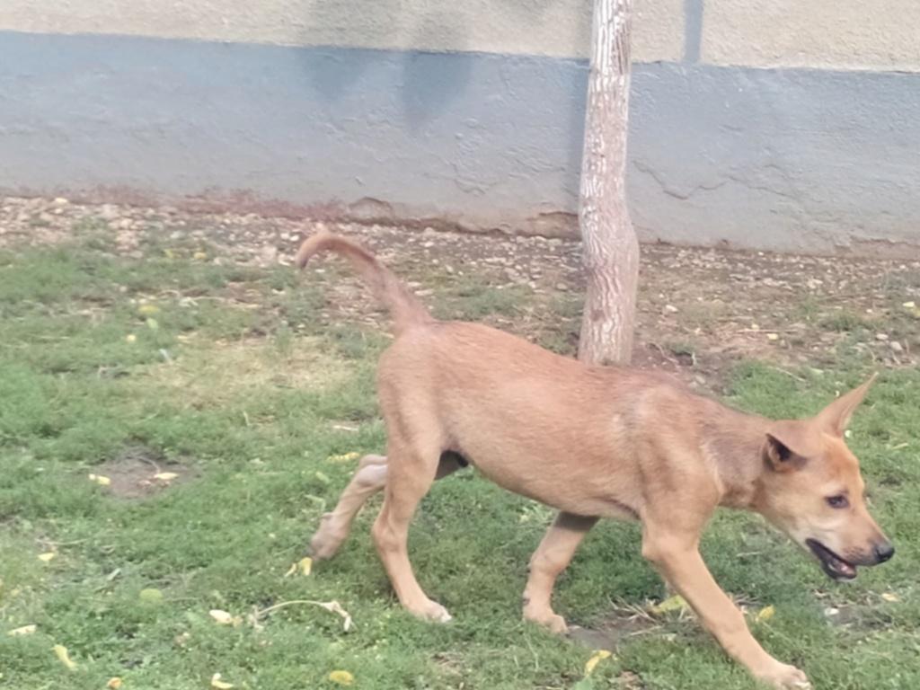 Rambo - mâle - refuge d'Arad 66346110