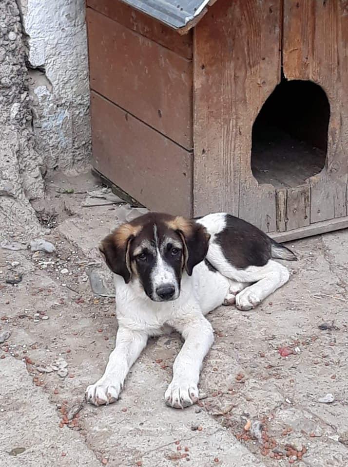Fletcher - mâle - fourrière de Târgu Frumos - réservé adoption Hollande 66453910