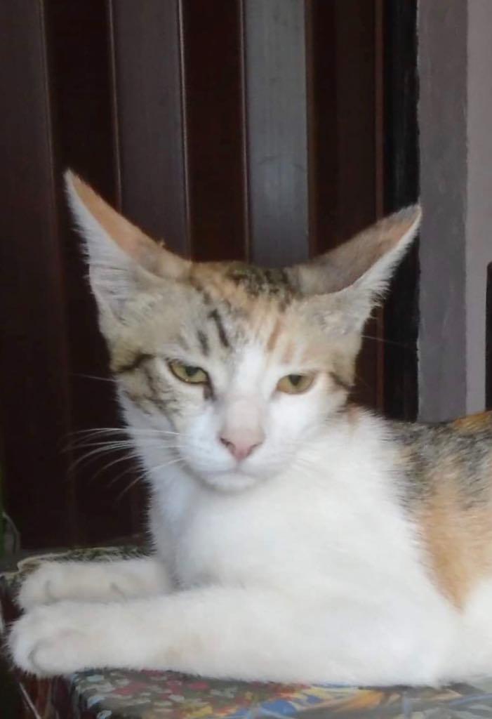Yuna- chat - femelle- refuge d'Arad 67162910