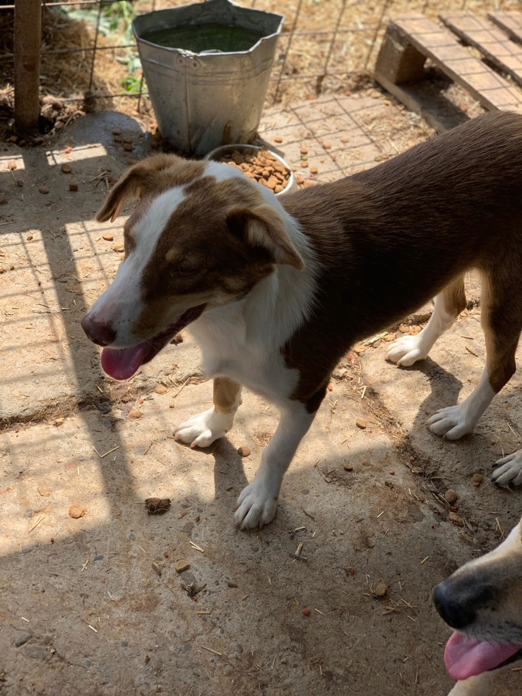 Maya - femelle - fourrière de Târgu Frumos - en famille d'accueil dans le 67 - réservée adoption (68) 67587910