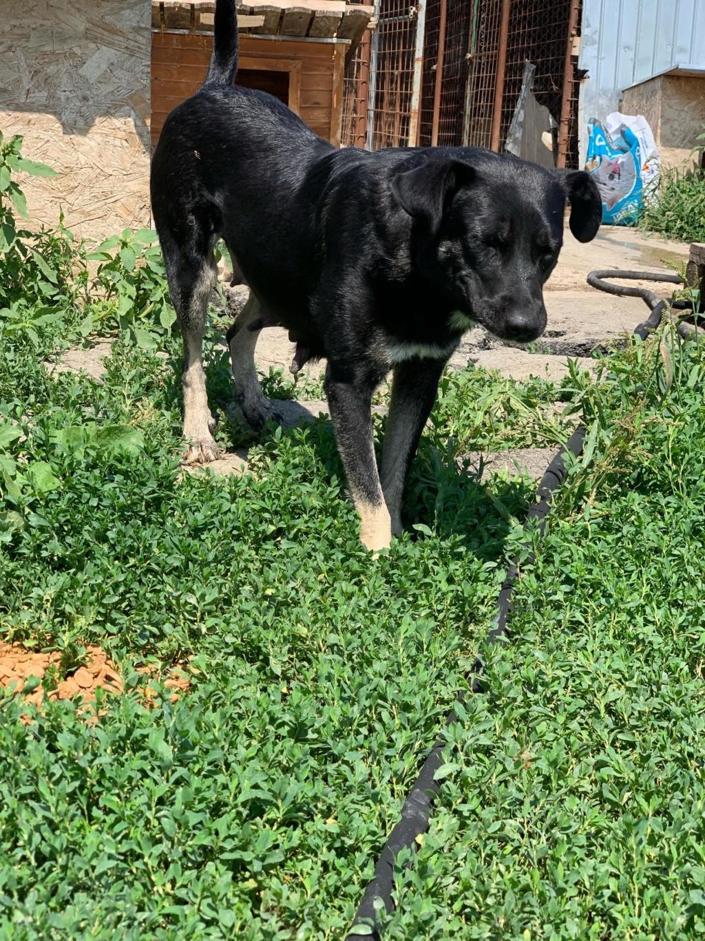 Daïka- femelle- fourrière de Târgu Frumos 67697810