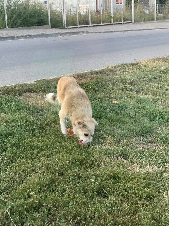 becka - Becka - mâle - dans les rues de Târgu Frumos - frais d'adoption réduits 67730210