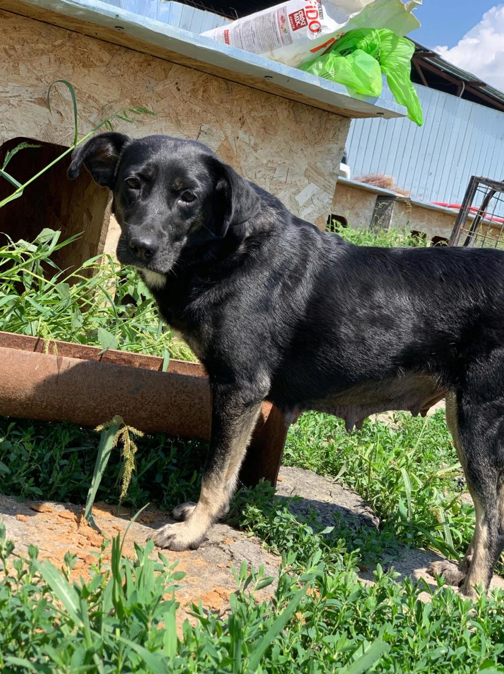 Daïka- femelle- fourrière de Târgu Frumos- adoptée via Andreea 67780511