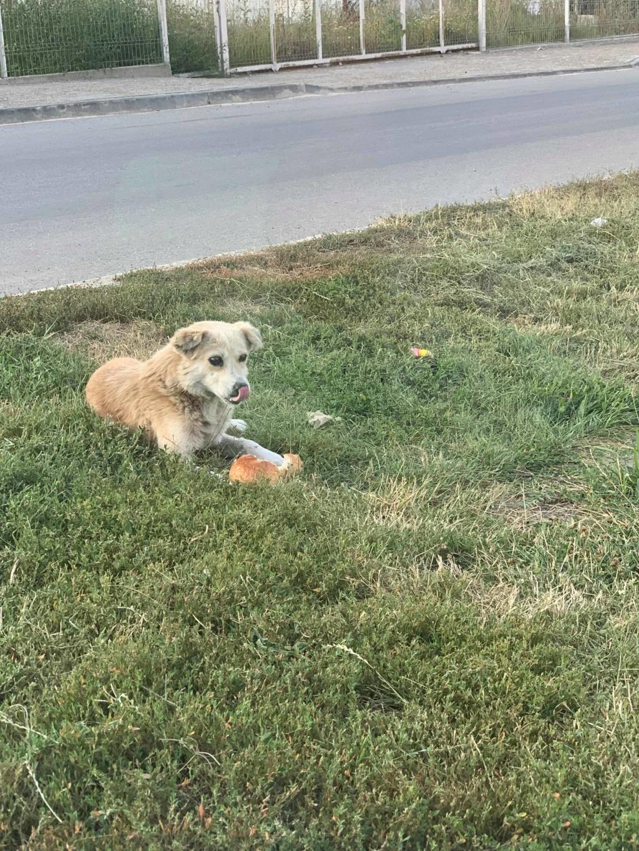 becka - Becka - mâle - dans les rues de Târgu Frumos - frais d'adoption réduits 67842910