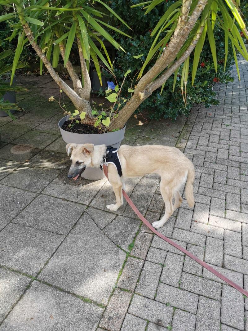 Rianna- femelle- fourrière de Târgu Frumos - sera en famille d'accueil dans le 67 en octobre 72442710