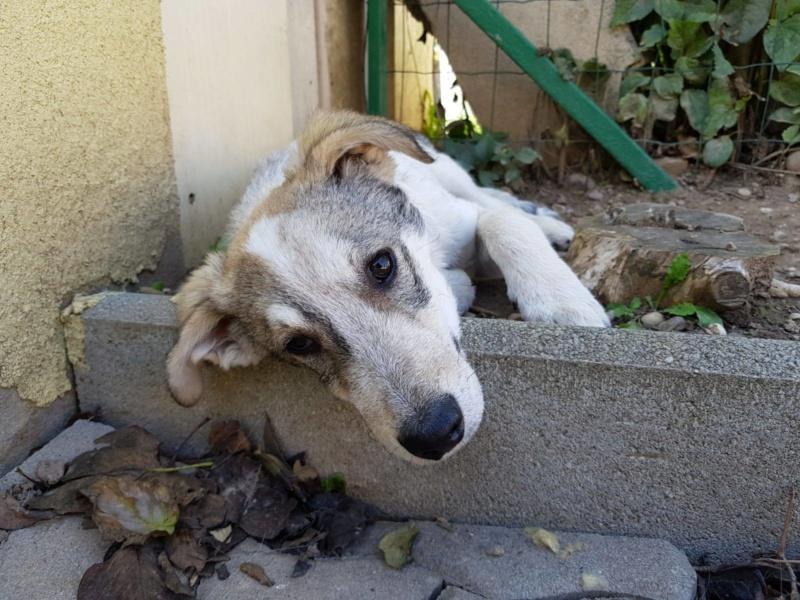 Brocoli-mâle- fourrière de Târgu Frumos - en famille d'accueil dans le 67 74226510
