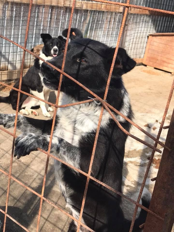Dakota - femelle - fourrière de Târgu Frumos - Réservée adoption (88) Dakota13