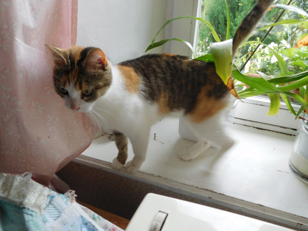 Clafoutis - chatte femelle - adoptée par sa FA (67) Dscn5622