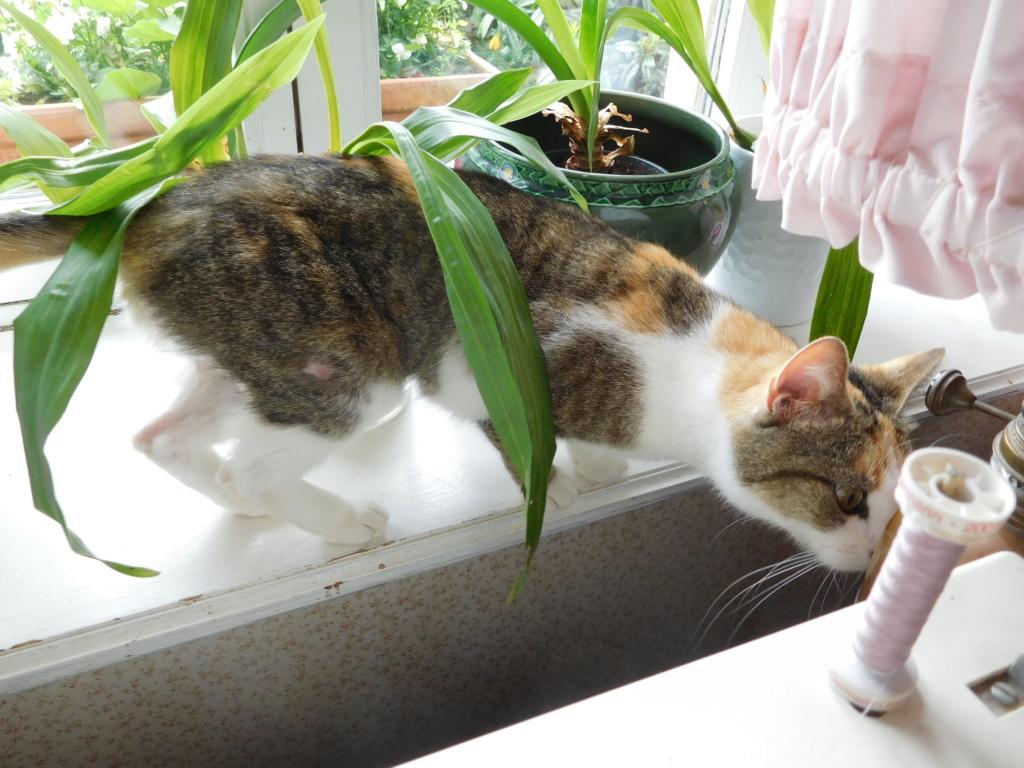 Clafoutis - chatte femelle - adoptée par sa FA (67) Dscn5623