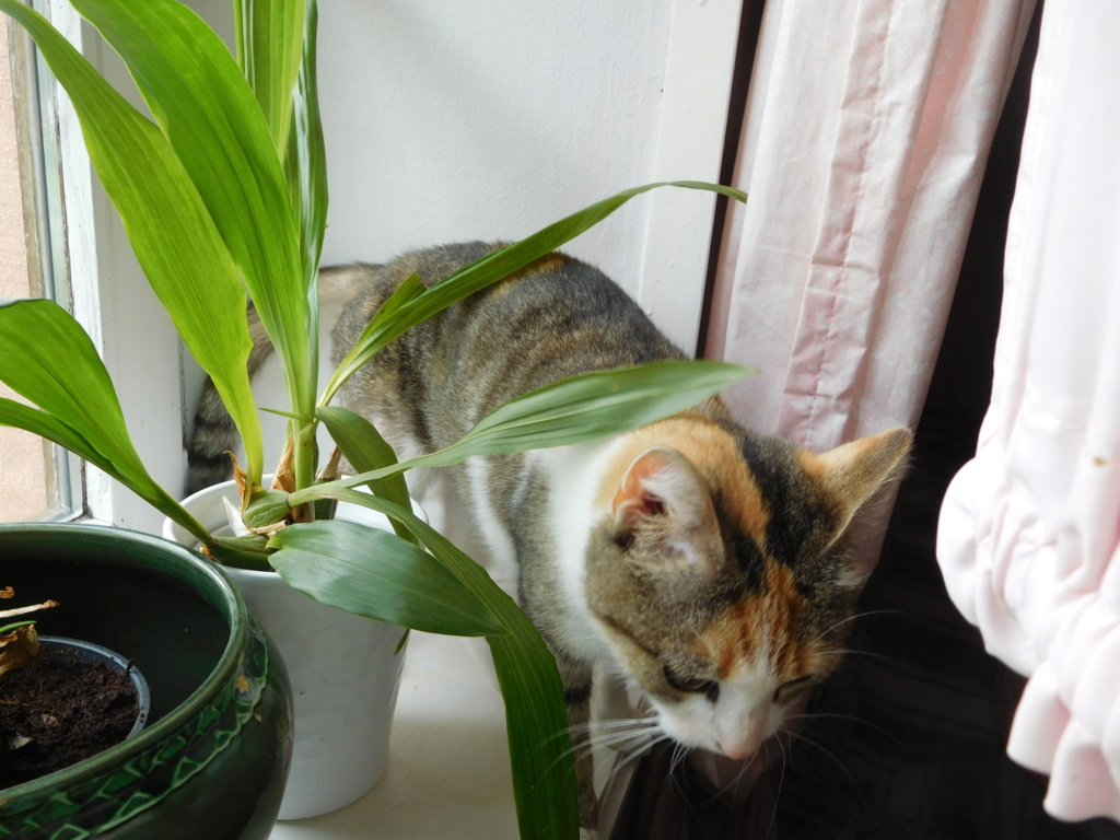Clafoutis - chatte femelle - adoptée par sa FA (67) Dscn5627