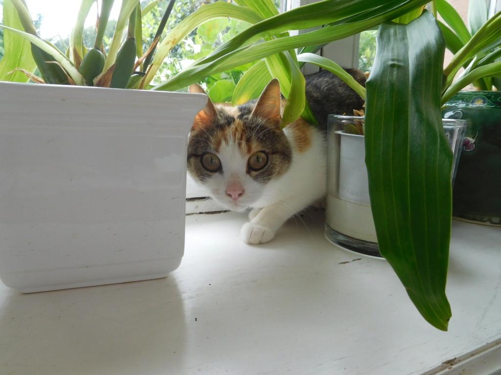 Clafoutis - chatte femelle - adoptée par sa FA (67) Dscn5629
