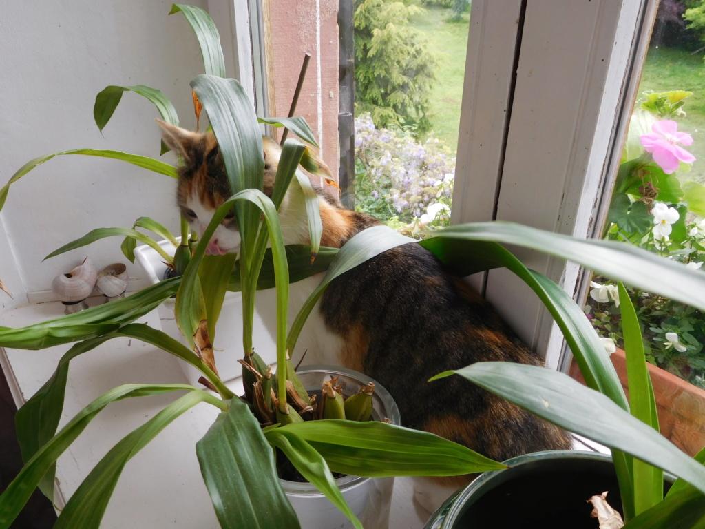 Clafoutis - chatte femelle - adoptée par sa FA (67) Dscn5630