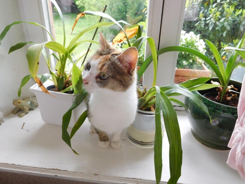 Clafoutis - chatte femelle - adoptée par sa FA (67) Dscn5631