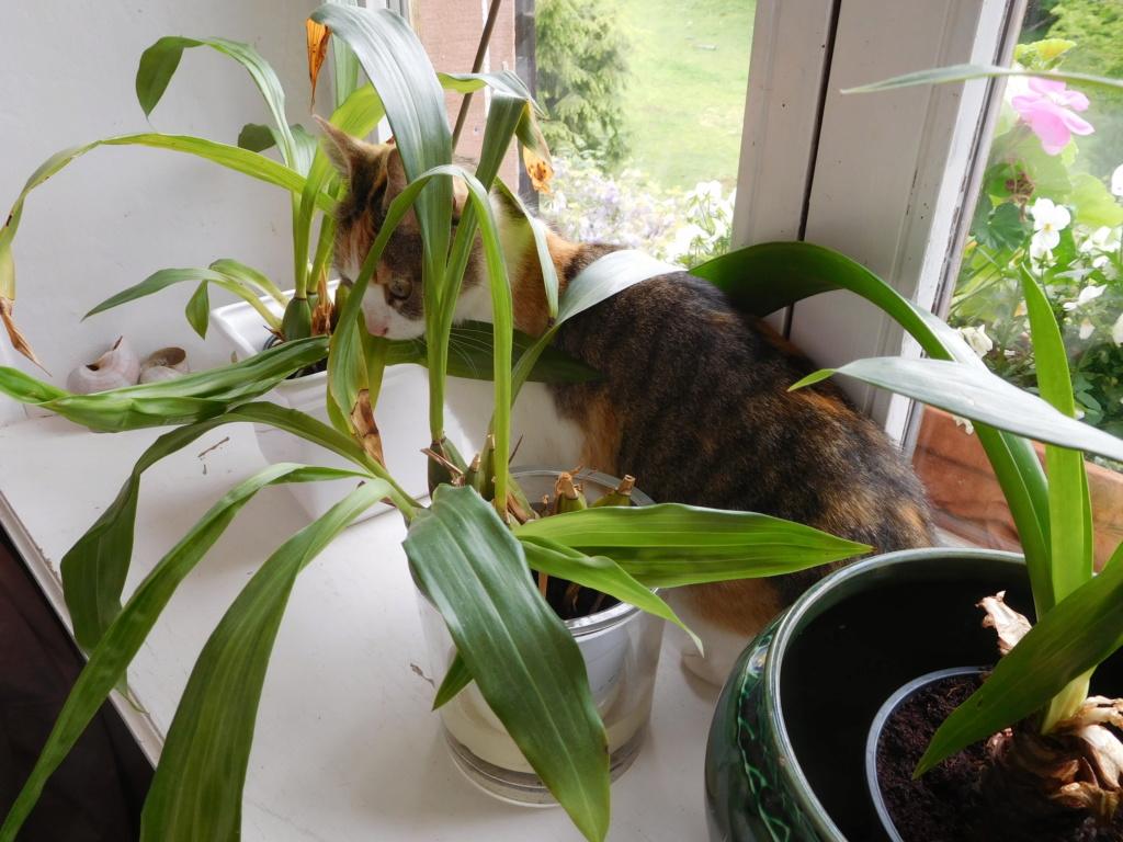 Clafoutis - chatte femelle - adoptée par sa FA (67) Dscn5632