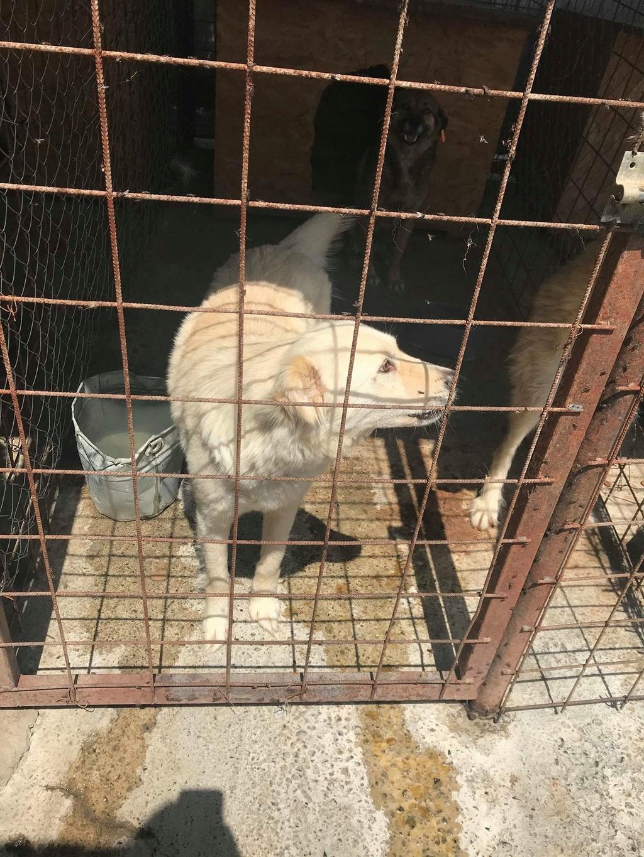 Stella - femelle - fourrière de Târgu Frumos - réservée adoption (68) Stella11