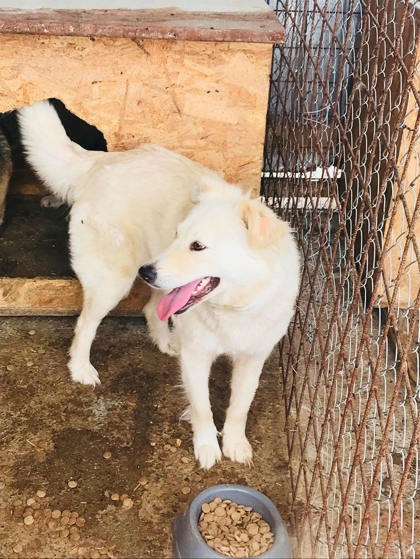 Stella - femelle - fourrière de Târgu Frumos - réservée adoption (68) Stella13