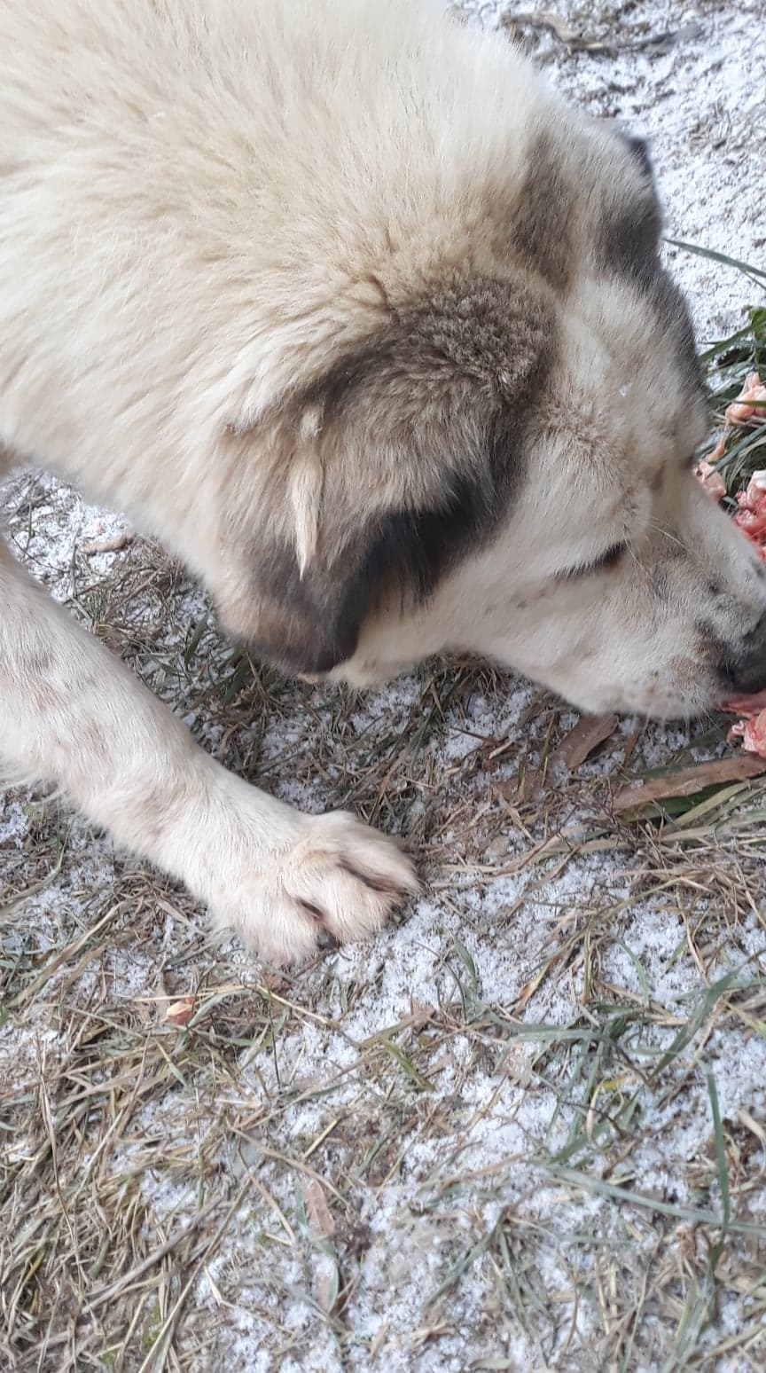 Yeti - femelle - Târgu Frumos Yeti_210