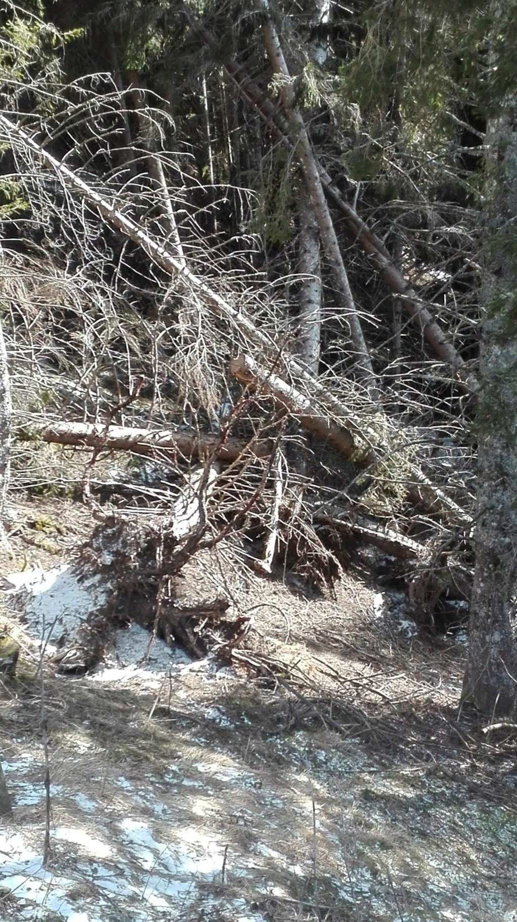 alberi abbattuti dai temporali - Pagina 2 Vaia_110