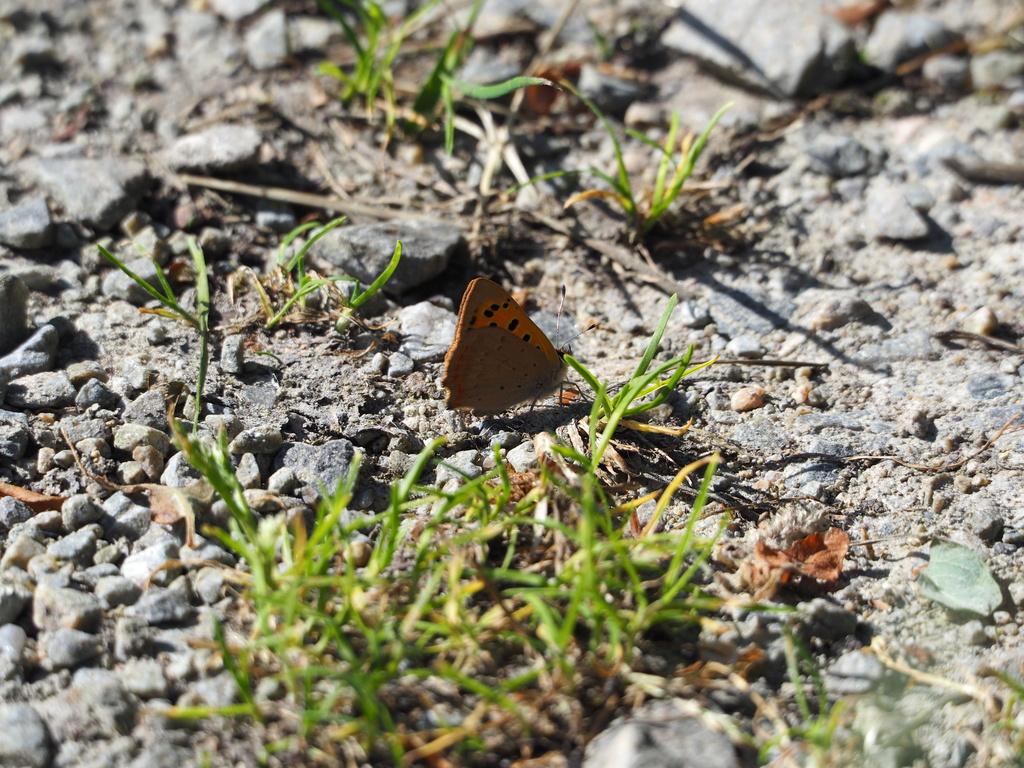 Identification de papillons Cuivry10