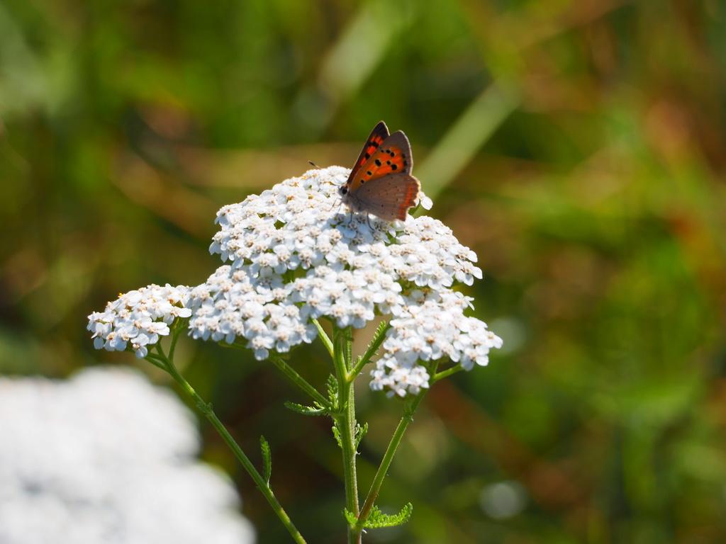 Identification de papillons Cuivry11