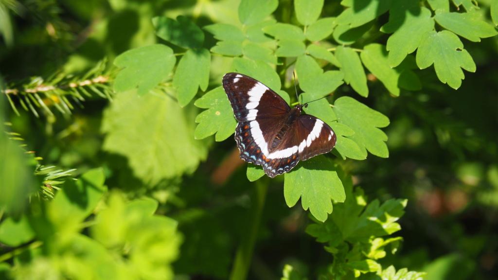 Papillons du Québec Img_6111