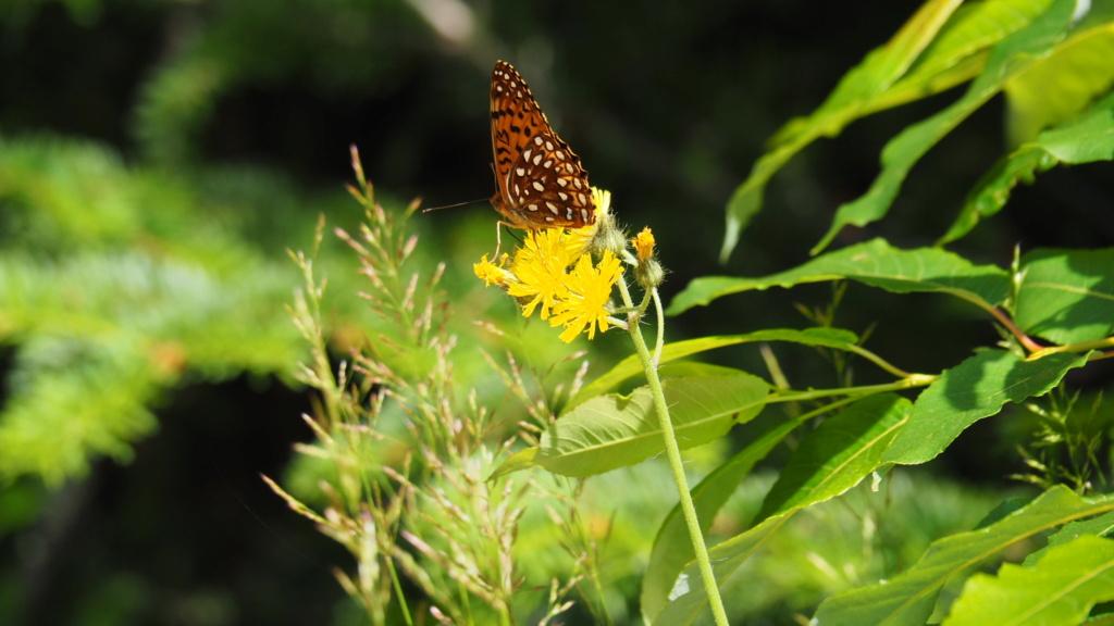 Papillons du Québec Img_6114