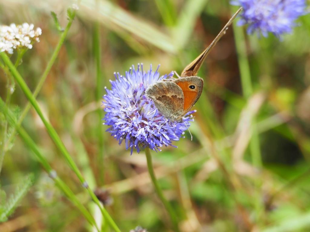 Identification de papillons P6190610