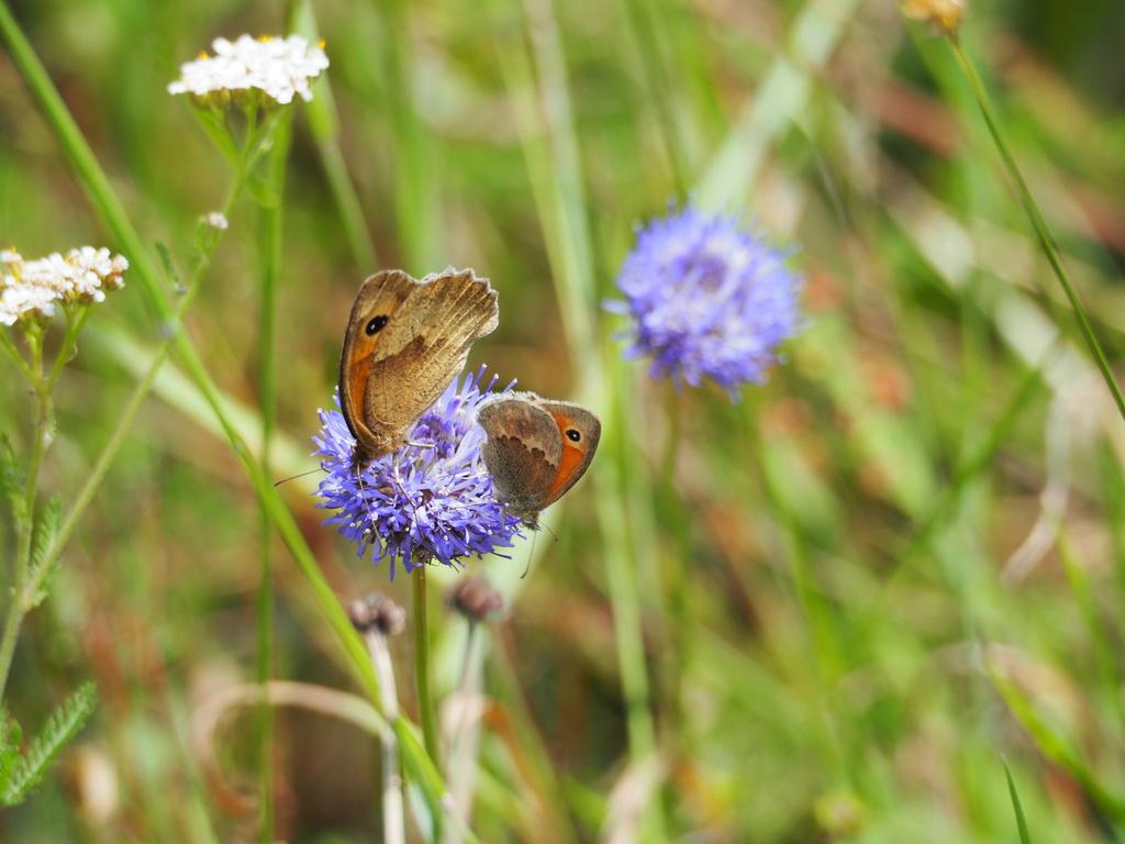 Identification de papillons P6190611