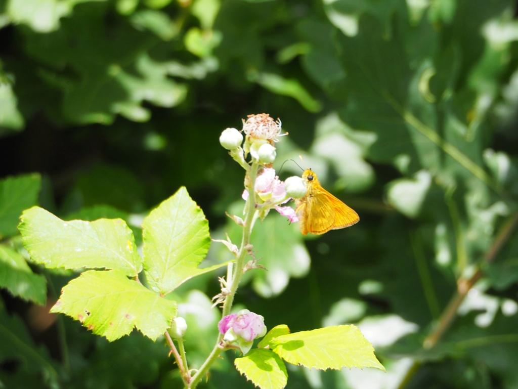 Identification de papillons P6190710