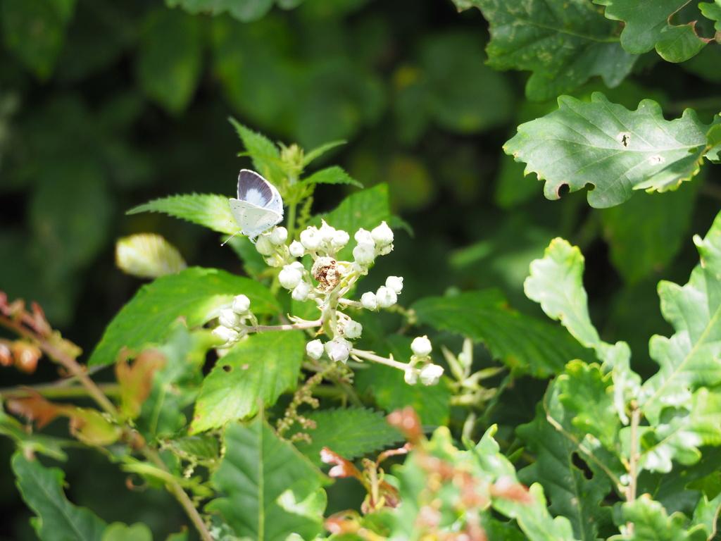 Identification de papillons P6190711