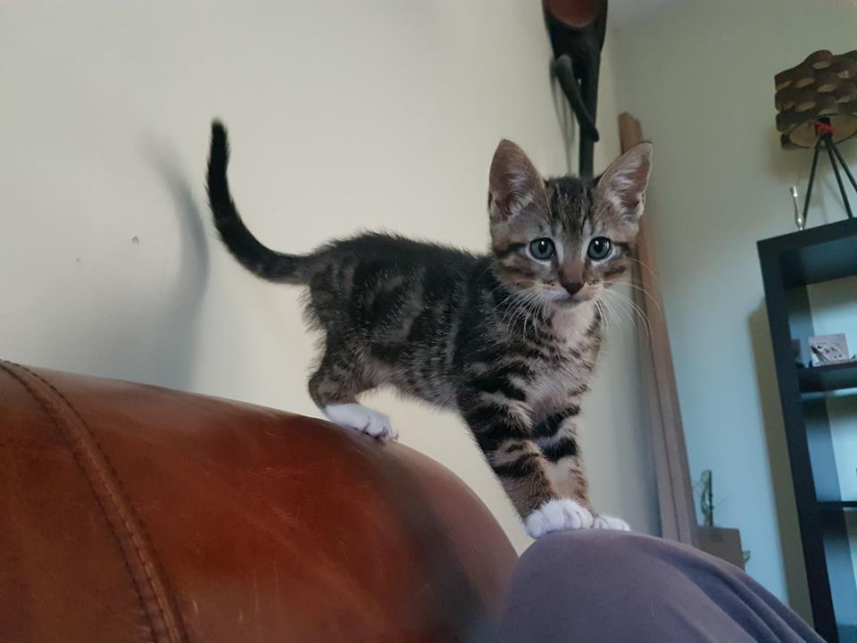 Soho, chaton né le 20 avril 2018 36027910