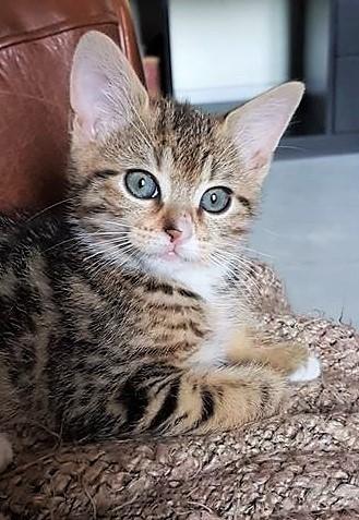 Nolita, petite chatonne née le 20 avril 2018 36225210
