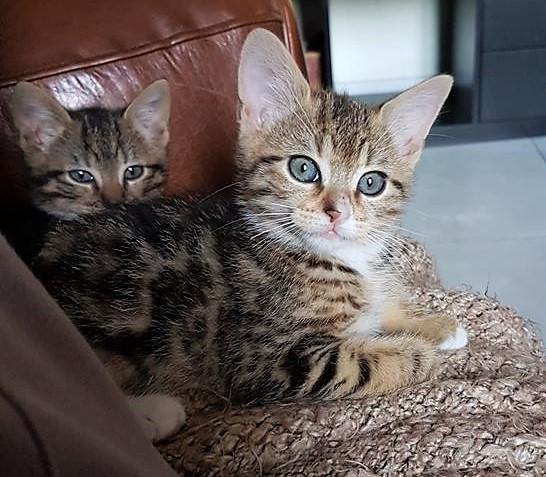 Nolita, petite chatonne née le 20 avril 2018 36225211