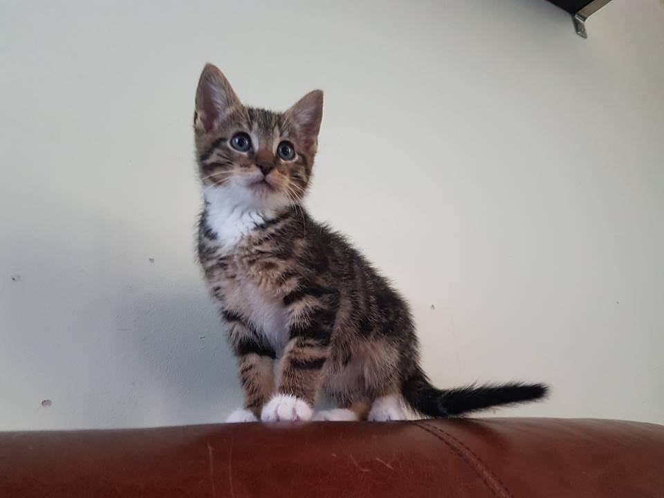 Soho, chaton né le 20 avril 2018 36281810