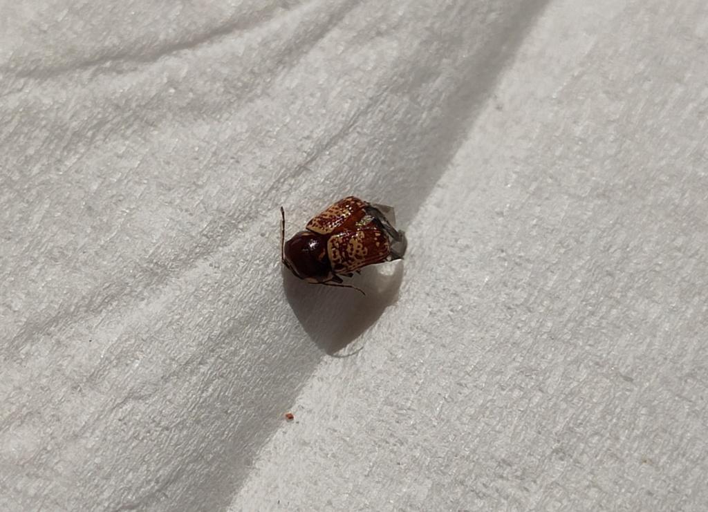 Quel est donc ce petit insecte ? Coleop10