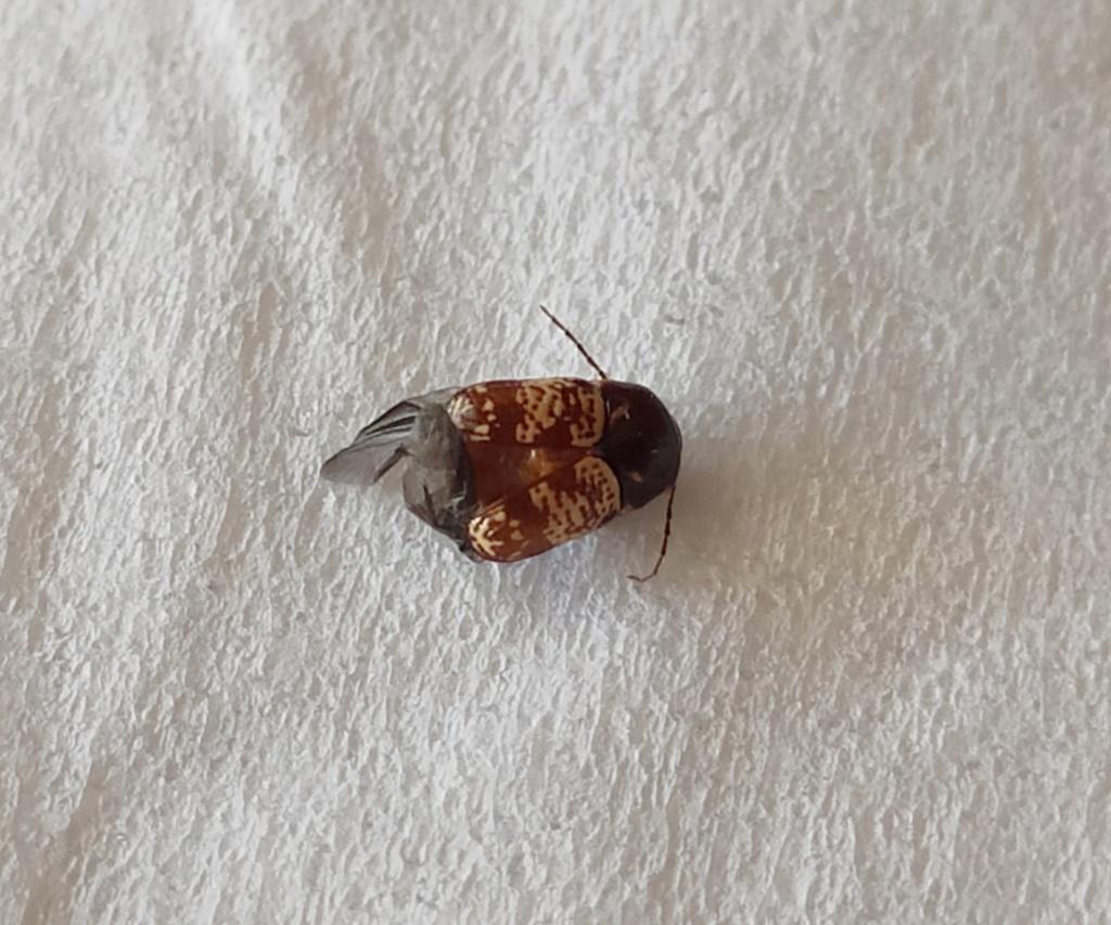 Quel est donc ce petit insecte ? Coleop11