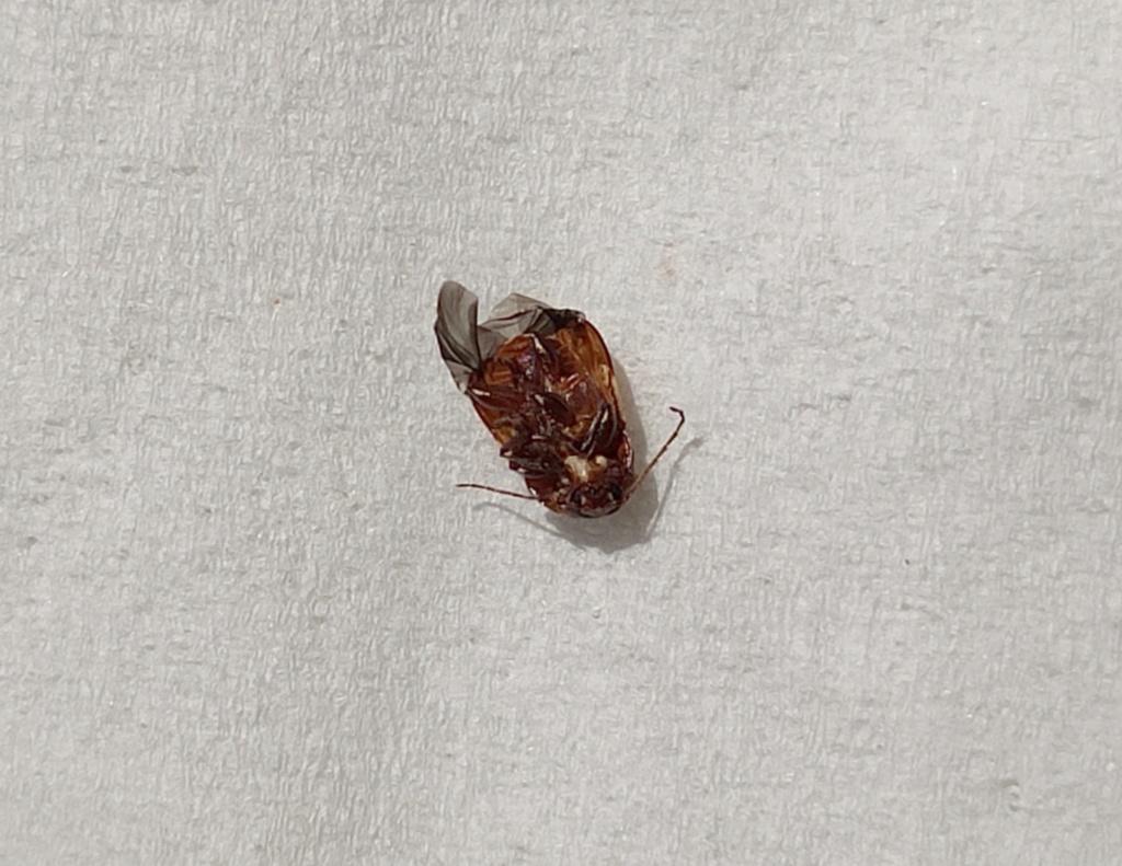 Quel est donc ce petit insecte ? Coleop12