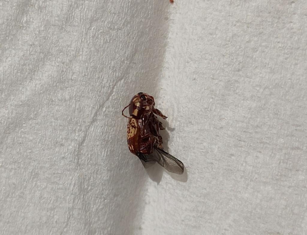 Quel est donc ce petit insecte ? Coleop13