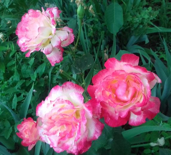 цветы в моём саду. 01710