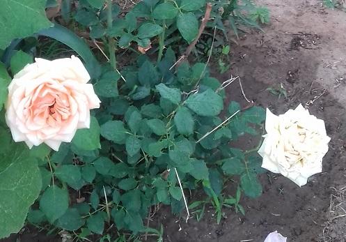 цветы в моём саду. 01810