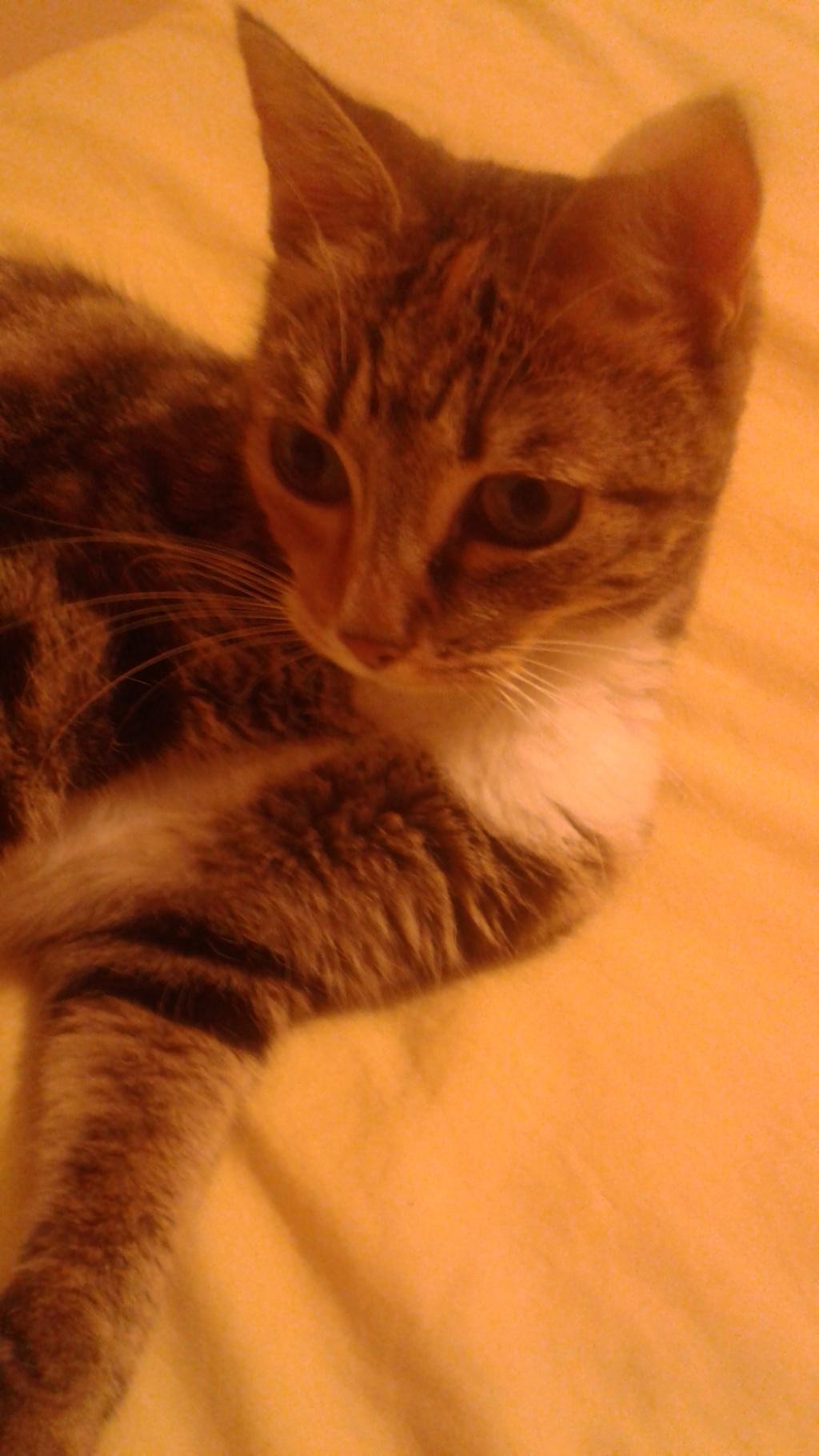 MOLKIE chatte européenne tigrée tricolore née le 30/08/216 12_sep10